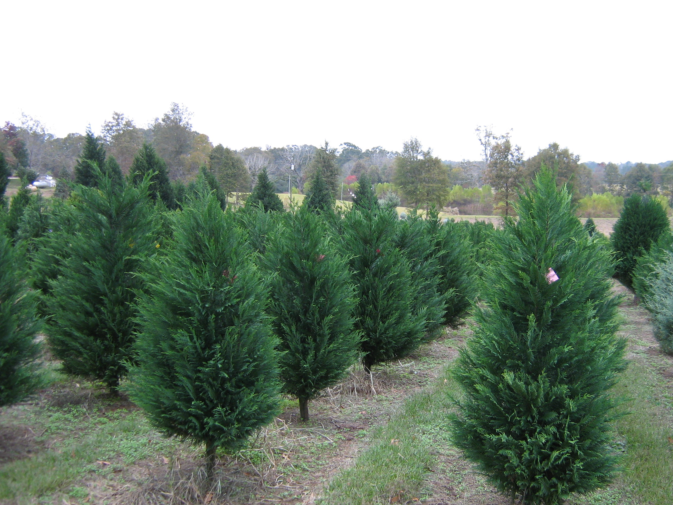 the first christmas trees were planted at windy hills in january 1999 we began selling to the public in november 2002 - Christmas Tree Farm Louisiana