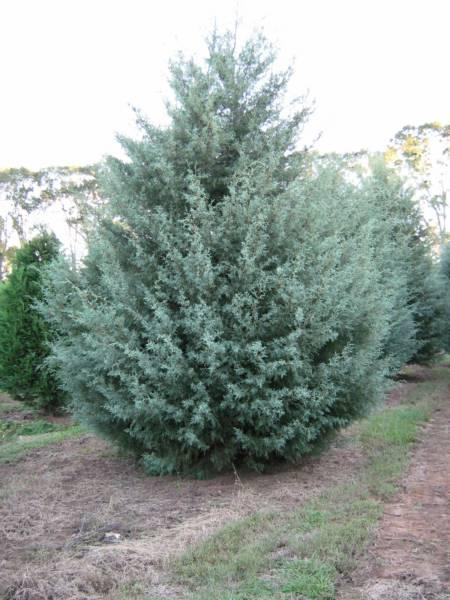 fresh cut christmas trees jacksonville fl
